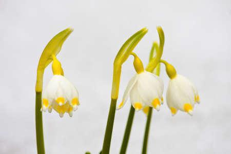 spring snowflakes flowers - leucojum vernum carpaticum  photo