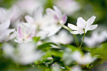 White wood anemone flowers photo