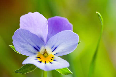 Wild spring violets flowers close up  photo