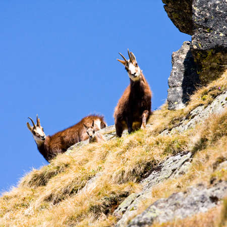 Chamois  Rupicapra Carpatica  in mountain High Tatras, Poland photo