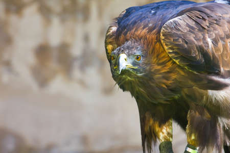 golden eagle close up  photo