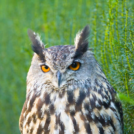Eurasian Eagle-Owl, Bubo bubo, a species of eagle owl photo