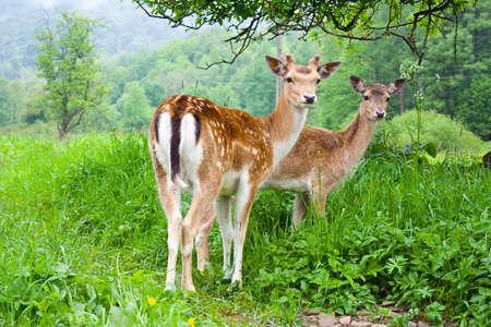 fallow deer: A group of young fallow deer