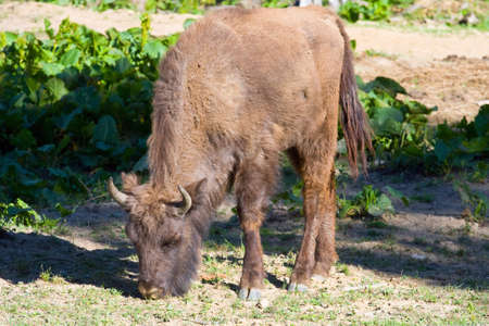compatriot: shot of an aurochs  Stock Photo