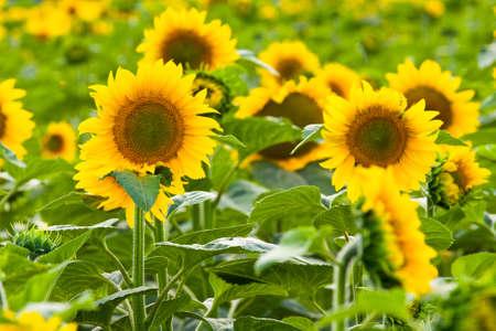 barley head: Sunflower field