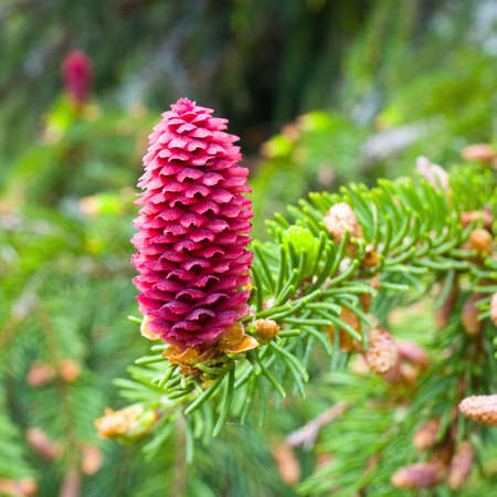 Spruce tree branch with young cones  photo