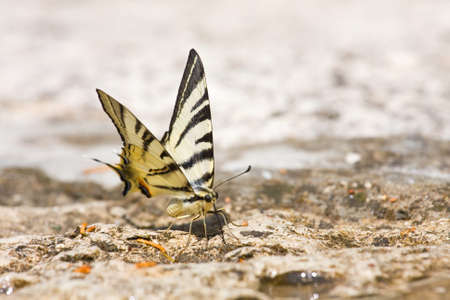 machaon: butterfly Swallowtail (Papilio machaon)  Stock Photo