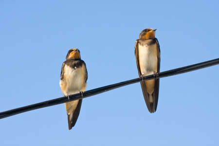 Portrait of swallows photo