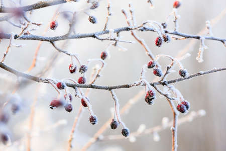 Winter , red berries on the frozen branches covered with hoarfrost  photo