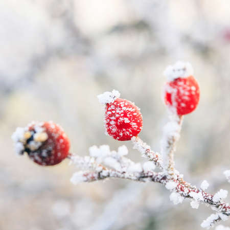 Winter , red berries on the frozen branches covered with hoarfrost  Stock Photo