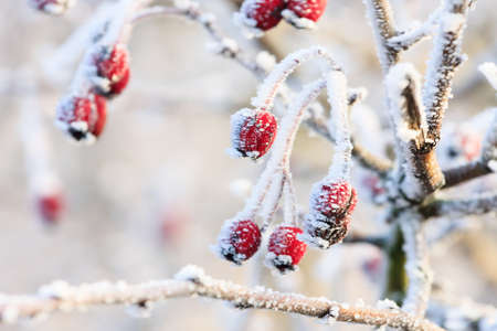 Winter background, red berries on the frozen branches covered with hoarfrost  photo