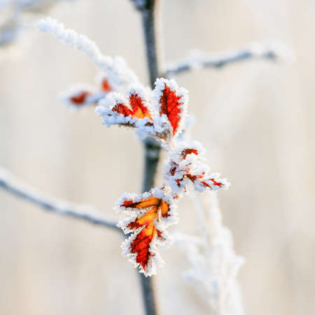Winter background, hoarfrost on leaves