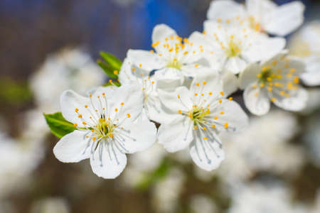 white blossoms in spring  Stock Photo
