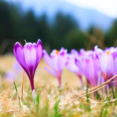 Blooming violet crocuses, spring flower photo