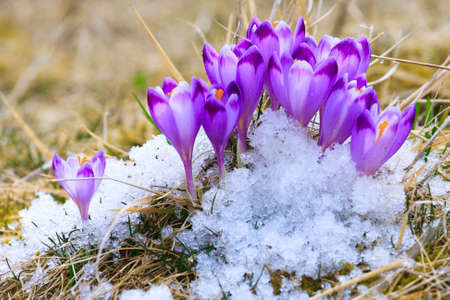 Blooming violet crocuses, spring flower photo