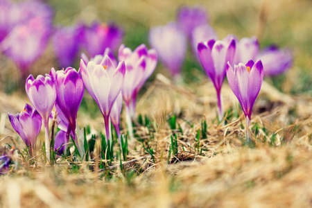 vintage blooming violet crocuses, spring flower photo