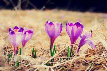 vintage blooming violet crocuses, spring flower photo