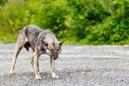 intimidating: furious dog
