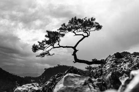 pine, most famous tree in Pieniny Mountains, Poland, black and white photo Stock Photo