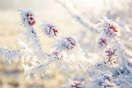 frozen winter: Winter background, red berries on the frozen branches covered with hoarfrost