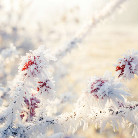 sorb: Winter background, red berries on the frozen branches covered with hoarfrost