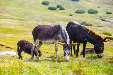drove: Drove of donkeys resting in the green meadow