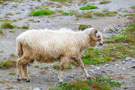 sheepfold: Sheep herds at alpine pastures in Bucegi Mountains, Romania Stock Photo