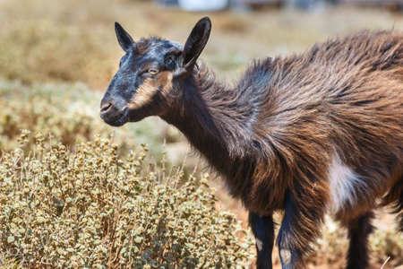 Domestic goat on Crete Island, Greece Stock Photo