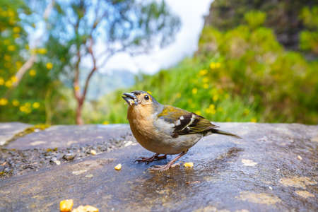 greenfinch: Carduelis chloris, Greenfinch, Madeira Island, Portugal