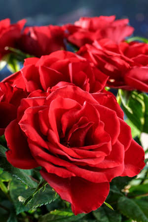 close up of beautiful red roses Stock Photo