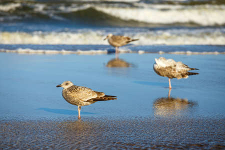 Gulls on the beach, Polish Baltic coast Stock Photo