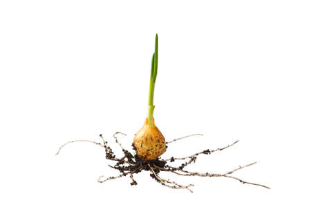 siembra: Onion growing on soil island isolated on white background Foto de archivo