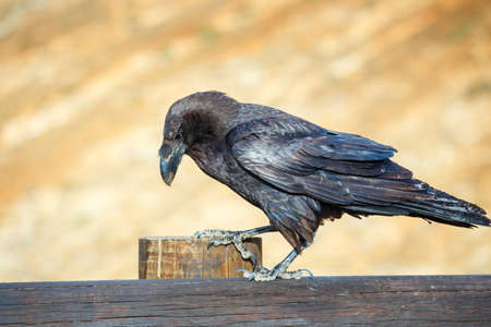 corvus: Common Raven sitting on a wooden beam, close up