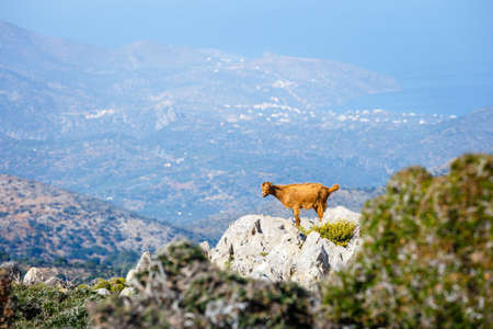 Domestic goat in the mountains on Crete Island, Greece