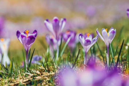 Blooming violet crocuses in Tatra Mountains, spring flower