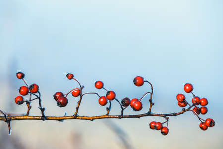 close up of red berries of viburnum with hoarfrost on the branches Stock Photo