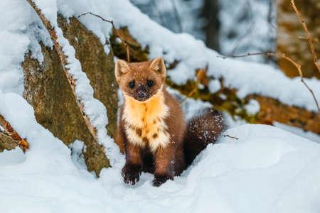Single weasel sitting at snow field, mustela nivalis Zdjęcie Seryjne