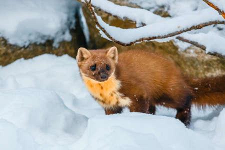 Single weasel sitting at snow field, mustela nivalis Stock Photo
