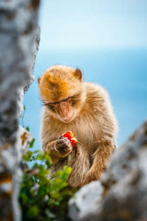 Portrait of a young macaque.  Macaques are one of the most famous attractions of the British overseas territory