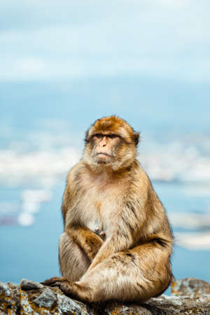 Portrait of a wild female macaque.  Macaques are one of the most famous attractions of the British overseas territory