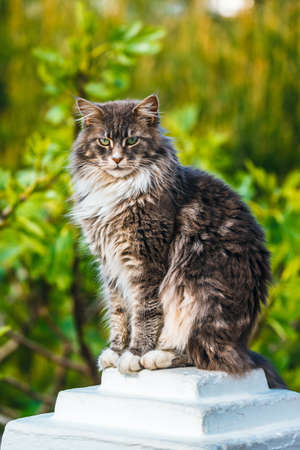 Portrait of Adorable Maine Coon Cat sitting on a stone pedestal