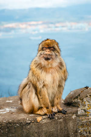 portrait of a wild male macaque.  Macaques are one of the most famous attractions of the British overseas territory