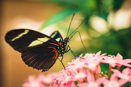 tropical red, black and white butterfly named Heliconius Melponeme