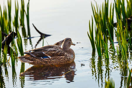 A female duck on the edge of the lake