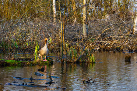The wild greylag goose in the pond at sunset, close up Stock Photo
