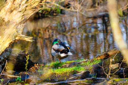 A male duck stands on the edge of the lake Stock Photo