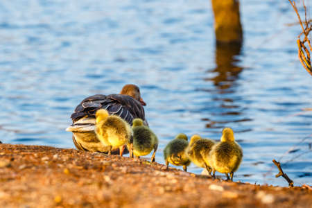 The European Greylags Goose with Chicks, closeup Stock Photo