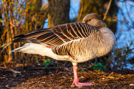 The wild greylag goose in the pond at sunset, close up Stock fotó