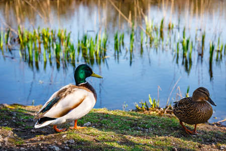 A pair of ducks, male and female, are standing on the shore of the lake