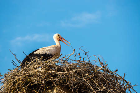 white storks on the nest, Ciconia ciconia